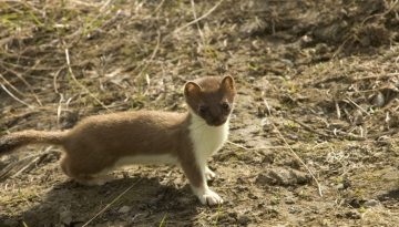 Why a Weasel - short-tailed-weasel-86619_1920