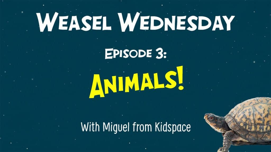 Weasel Wednesday episode 4 thumbnail - animals